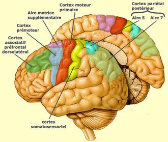 cerveauhumaincortexmoteur.jpg
